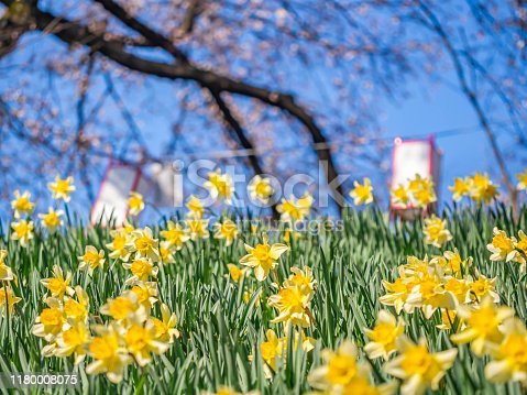 Closeup of Narcissus or Daffodil yellow flowers field with blurry Japanese style paper lamp, sakura flower tree and vivid blue sky in the park or garden.