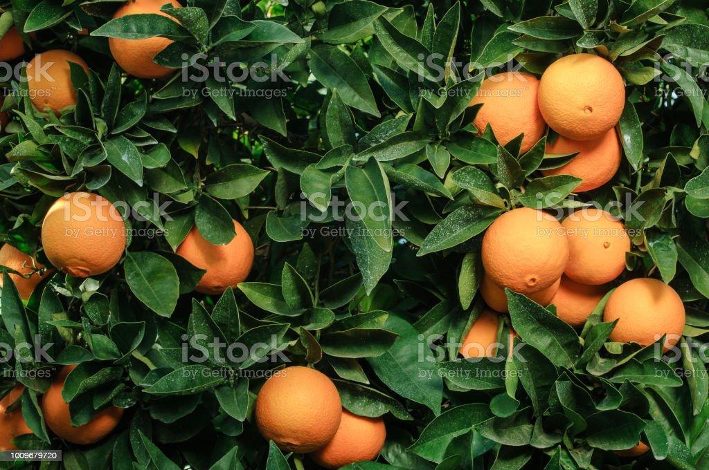 Close-up of Navel Oranges Ripening On Tree stock photo