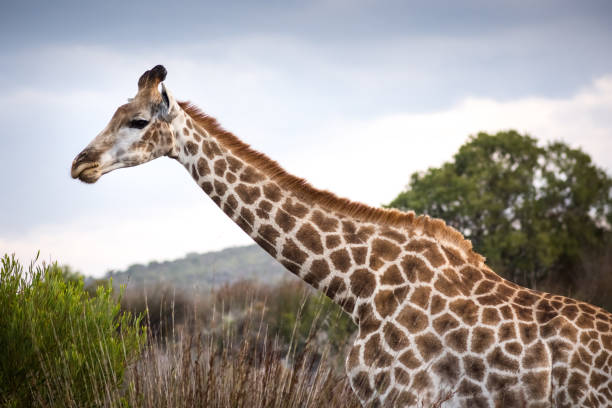 close-up of neck and head of female giraffe - wildlife conservation stock photos and pictures
