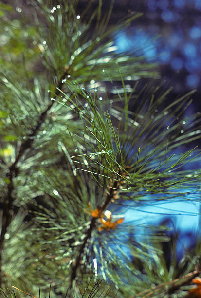 Closeup of needles on a pine tree, Yosemite Pine needles in macro focus, with extreme depth-of-field. Shot in Yosemite, CA. hearkencreative stock pictures, royalty-free photos & images