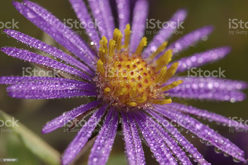 Close-up of New England Aster in the morning royalty-free stock photo