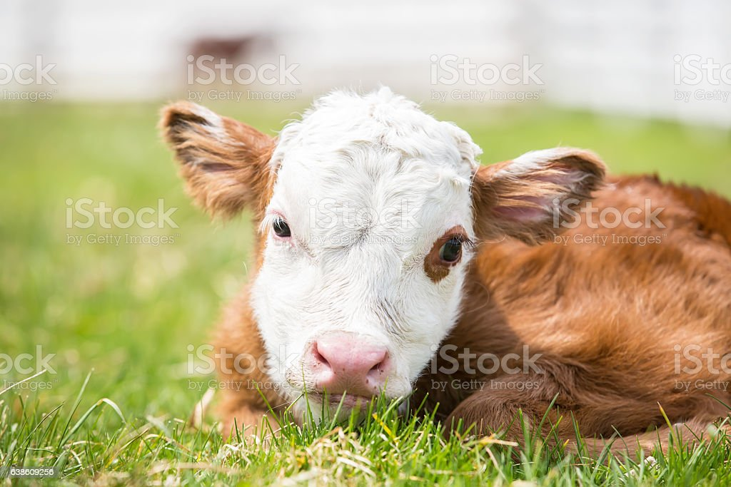 Close-Up Of Newborn Brown & White Hereford Calf in Pasture stock photo