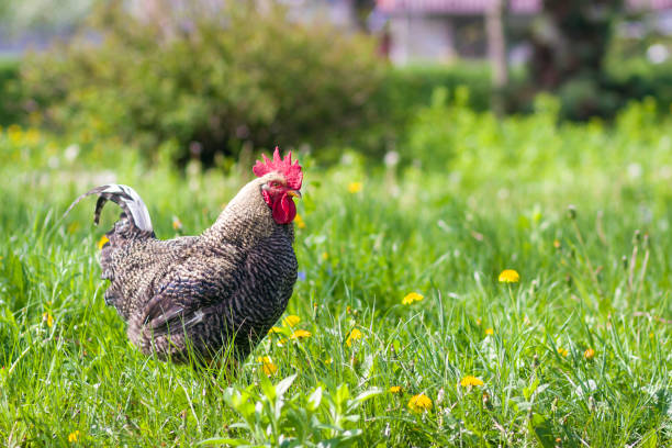 Close-up of nice big grown gray hen standing in high fresh grass on bright sunny blurred green summer background. Chicken farming, ecological clean healthy food, meat and eggs production concept. stock photo