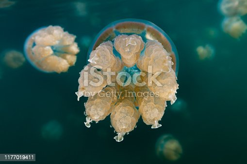 There are about 70 marine lakes located throughout the Rock Islands, but the Jellyfish Lake is the famous one. Millions of golden jellyfishes migrate horizontally across the lake daily. Jellyfish Lake is connected to the ocean through fissures and tunnels in the limestone of an ancient Miocene reef. However the lake is sufficiently isolated and the conditions are different enough that the diversity of species in the lake is greatly reduced from the nearby lagoon. The Golden Jellyfish, Mastigias cf. papua etpisoni in this lake has evolved to be substantially different from the close relatives Mastigias papua living in the nearby lagoons, they lost lost most or all of the blue pigmentation, they have a reduction in the number, length and thickness of the terminal clubs, and they are non-stinging, so swimming in that lake is truly magical! Populations of older marine lakes often have medusae with no terminal clubs and when present, the terminal clubs are only about 0.17 of the bell diameter in length. Palau, 7°9'38.833
