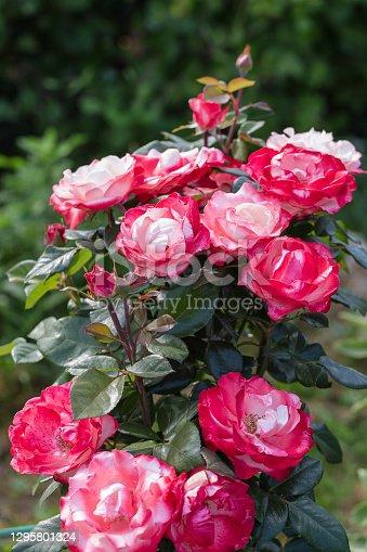 Close-up of garden rose Nostalgie. High quality photo