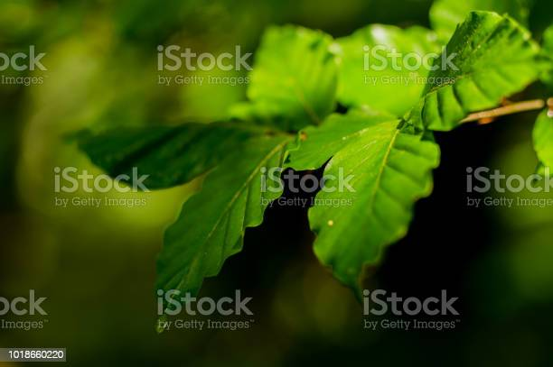 Photo of Close-up of Oak leaves soon after rain