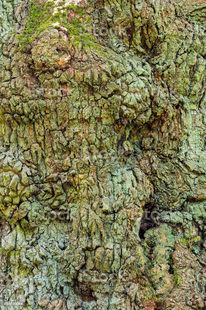 特寫的橡樹樹皮覆蓋著綠色的青苔 免版稅 stock photo