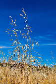 Close-up of oat and golden cereal by the sun over lovely blue sky.