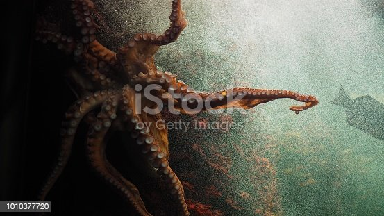 Closeup of beautiful octopus swimming with detail of its tentacles.