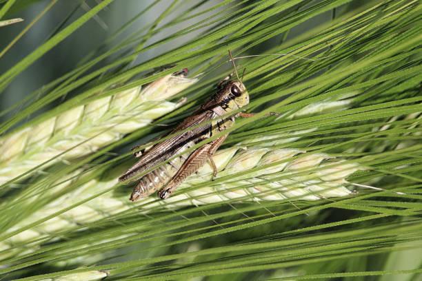 close-up van van een sprinkhaan op groen nauwelijks het hoofd - locust swarm stockfoto's en -beelden