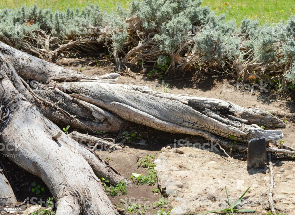Closeup of old tree trunk roots in rural scene royalty-free 스톡 사진