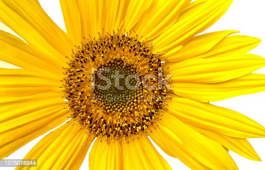 Closeup of one bright yellow sunflower with large petals on white background. Horizontal composition.