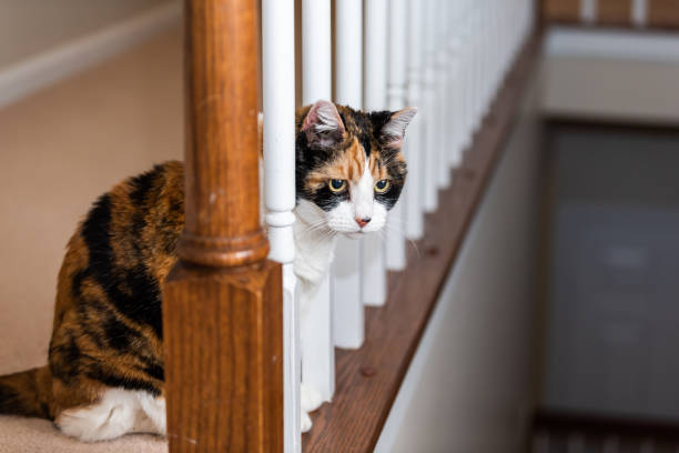 Closeup of one calico cat sitting looking down through railing curious in home room by stairs steps staircase at night Closeup of one calico cat sitting looking down through railing curious in home room by stairs steps staircase at night tortoiseshell cat stock pictures, royalty-free photos & images