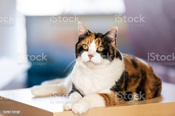 Closeup of one calico cat sitting on top of table in house home room picture id1029173192?b=1&k=6&m=1029173192&s=612x612&h=9jrohpbnqvu2wqzn0invgm oka4hxnivxfv tmhxv o=
