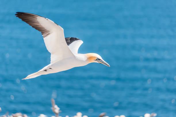 close-up van een geïsoleerde witte gannet vogel zoekt partner door blauwe oceaan baai op bonaventure eiland in perce, quebec, canada door gaspesie, gaspe regio - northern gannet stockfoto's en -beelden