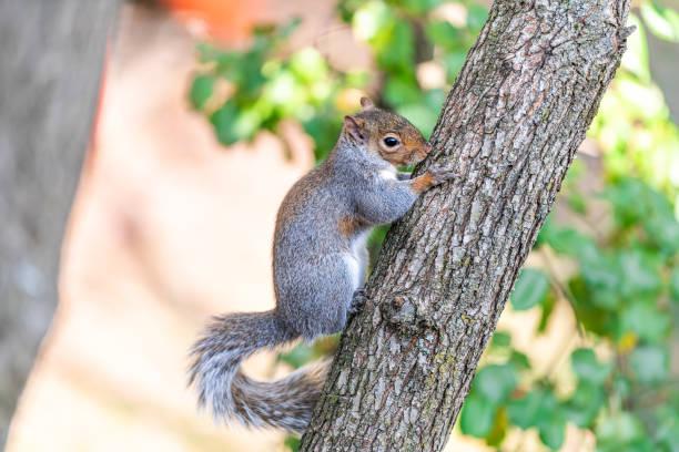 Closeup de um grande esquilo cinzento ou cinzento bonito na filial da árvore de cereja com fundo do bokeh no verão ensolarado da mola ou no dia do outono em Virgínia - foto de acervo