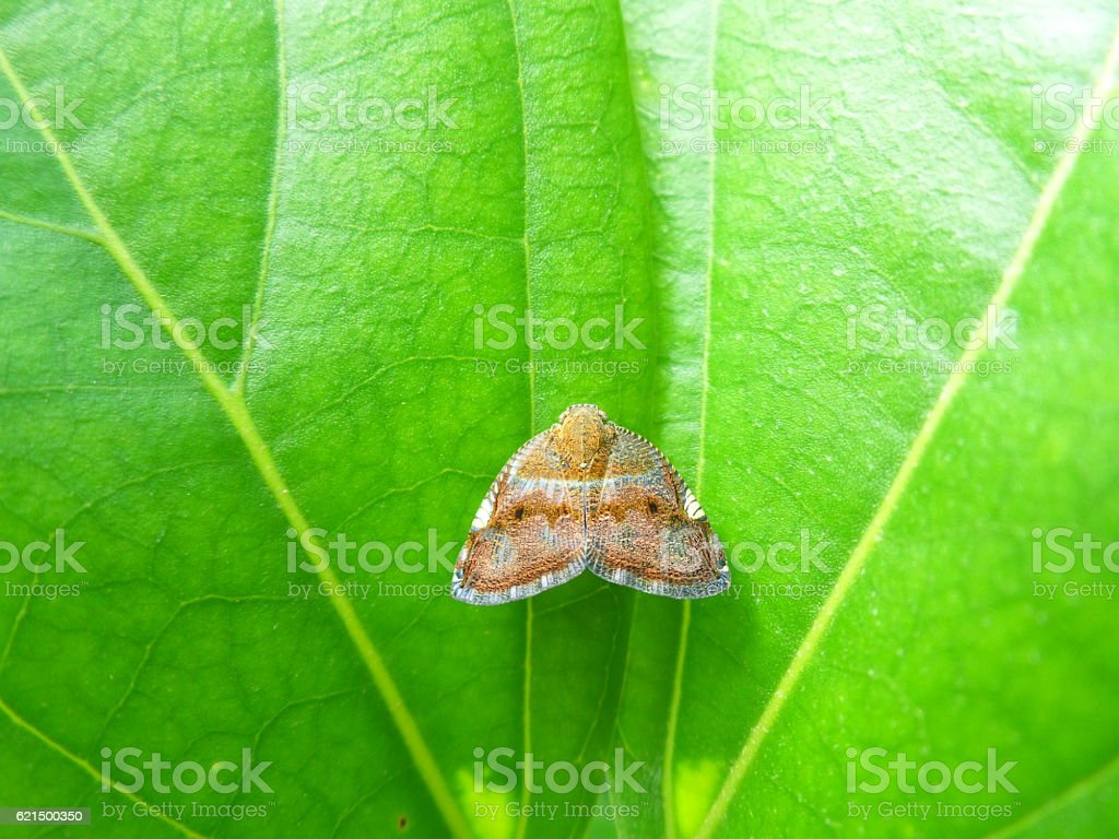 close-up of one little brown butterfly on bright green leaf photo libre de droits
