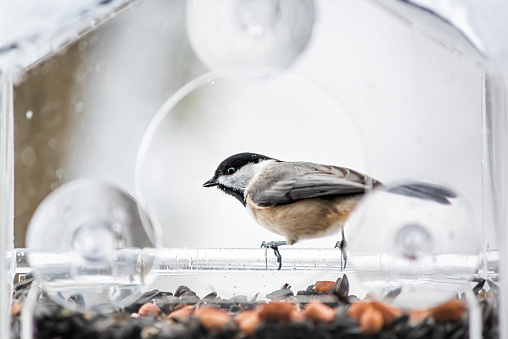 Closeup of one small black-capped or carolina chickadee bird perched on plastic glass window feeder during winter snow in Virginia with seeds