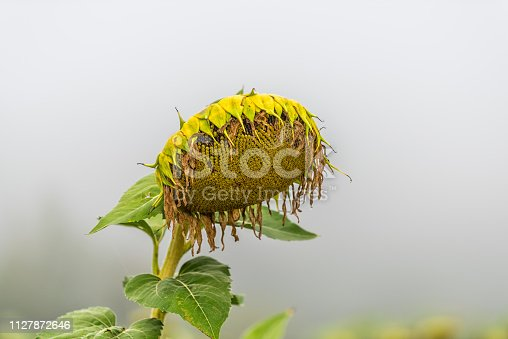 Closeup of one sunflower head flower ripe for harvesting in agriculture farm field in morning mist foggy weather with bokeh background