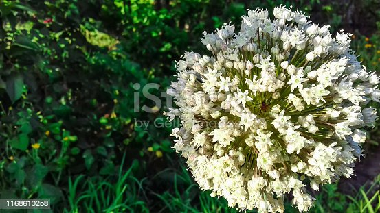 Closeup of white onion flower head in bloom in the garden
