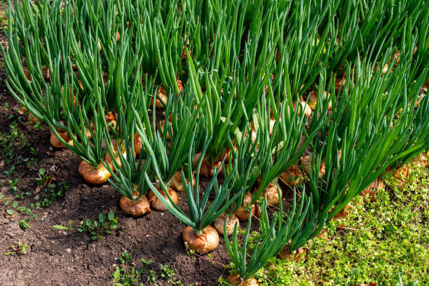 close-up of onion plantation in a hothouse – Foto