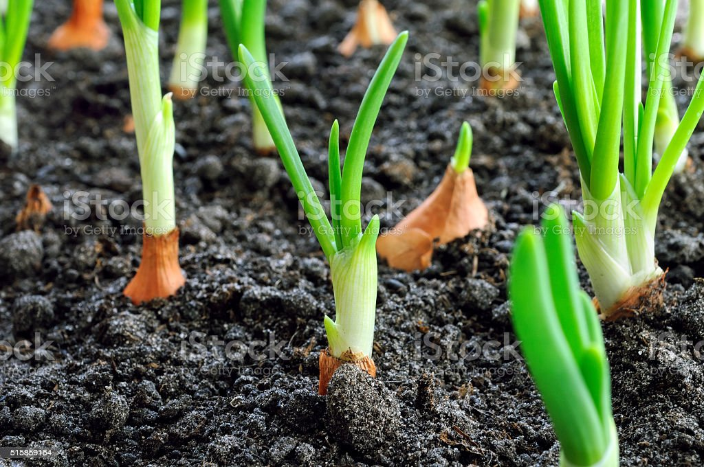 close-up of onion plantation stock photo