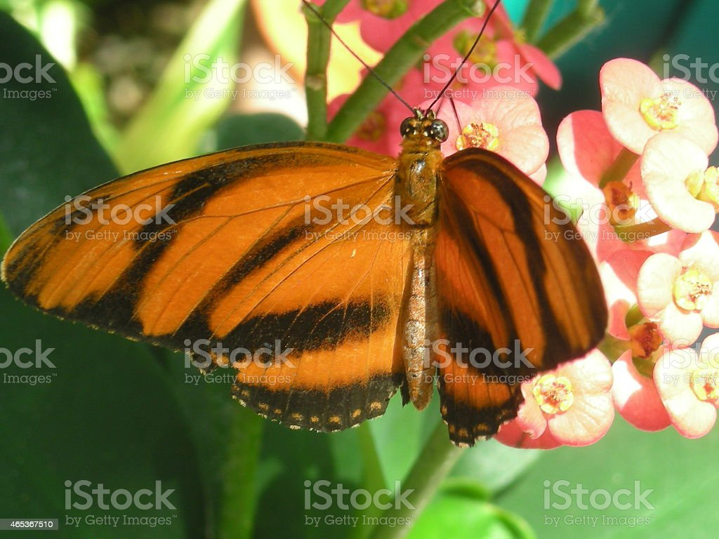 Close-up of Orange and Black Butterfly on Pale Pink Flowers stock photo