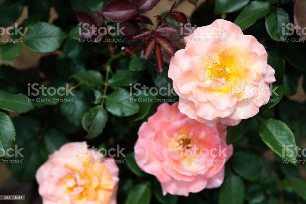 오렌지와 핑크 장미 꽃 ' Königin Beatrix' 클로즈업 - 로열티 프리 0명 스톡 사진