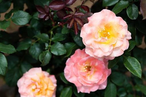 오렌지와 핑크 장미 꽃 Königin Beatrix 클로즈업 0명에 대한 스톡 사진 및 기타 이미지