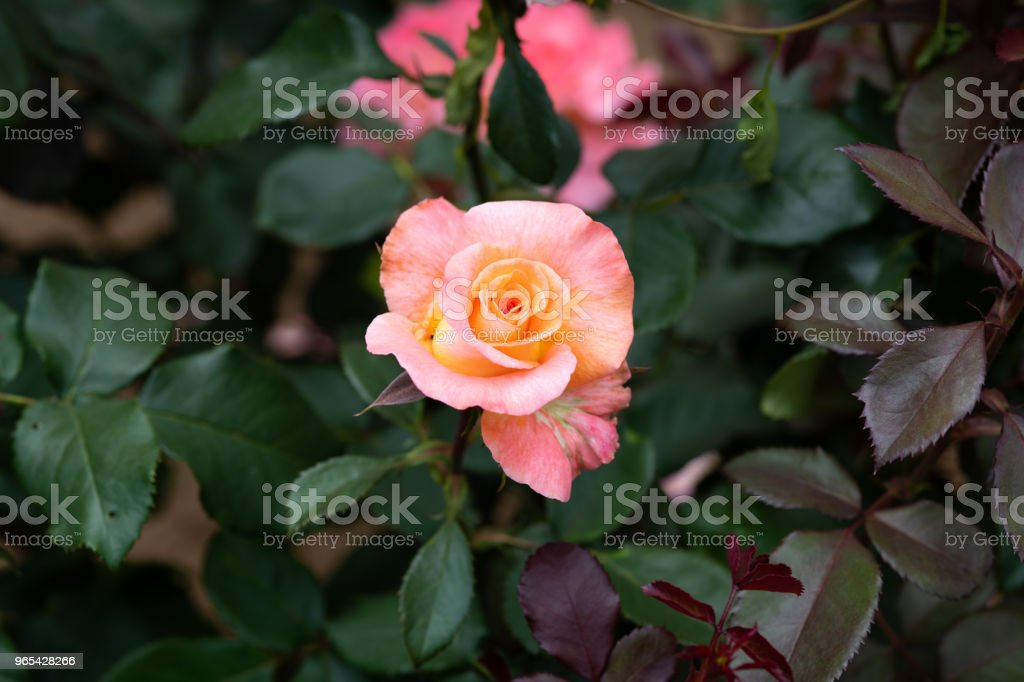 close-up of orange and pink rose flower 'Königin Beatrix' zbiór zdjęć royalty-free