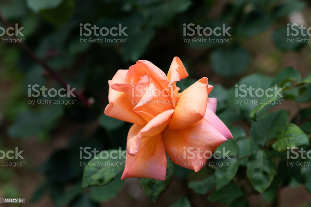 close-up of orange and pink rose 'Kanon' zbiór zdjęć royalty-free
