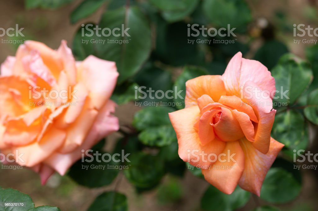 close-up of orange and pink rose 'Kanon' royalty-free stock photo