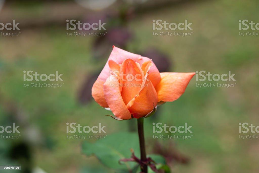 close-up of orange and pink rose 'Kanon' royalty-free stock photo