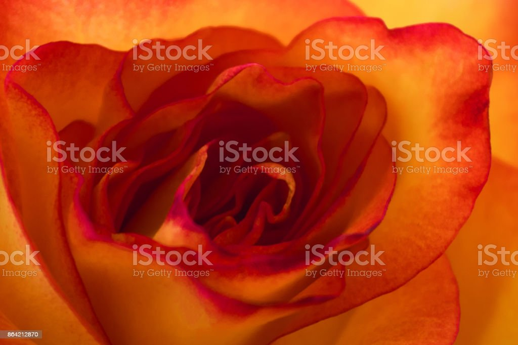 Closeup of orange and yellow rose bud. Textured background for floral designers royalty-free stock photo
