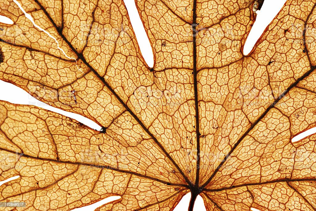 Close-up of Orange Autumn Leaf on White Background royalty-free stock photo