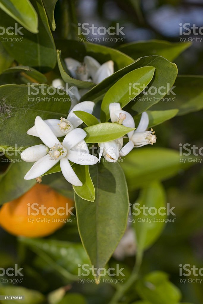 Closeup of orange blossoms on a tree stock photo