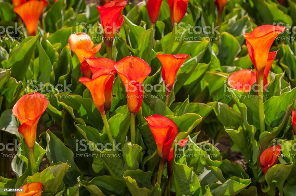 Primer plano de alcatraces naranja en flor - foto de stock