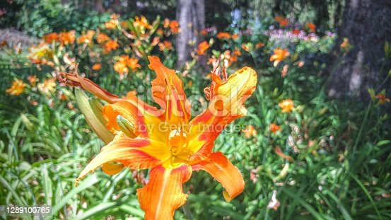 Blooming orange daylilly surrounded by other like flowers