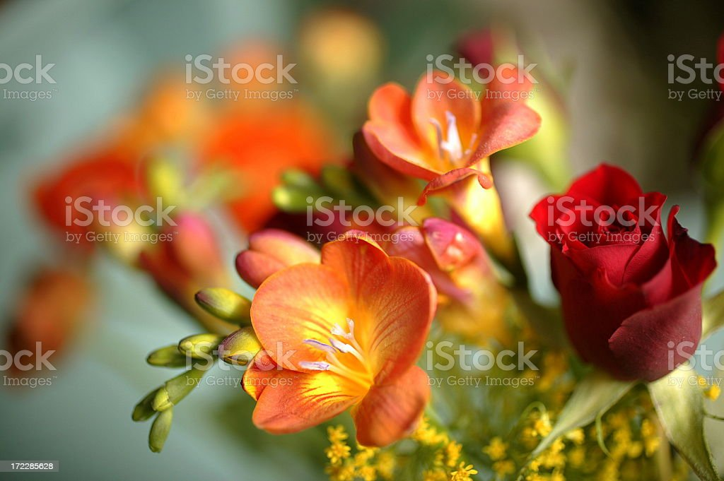 Close-up of orange freesias and red rose stock photo