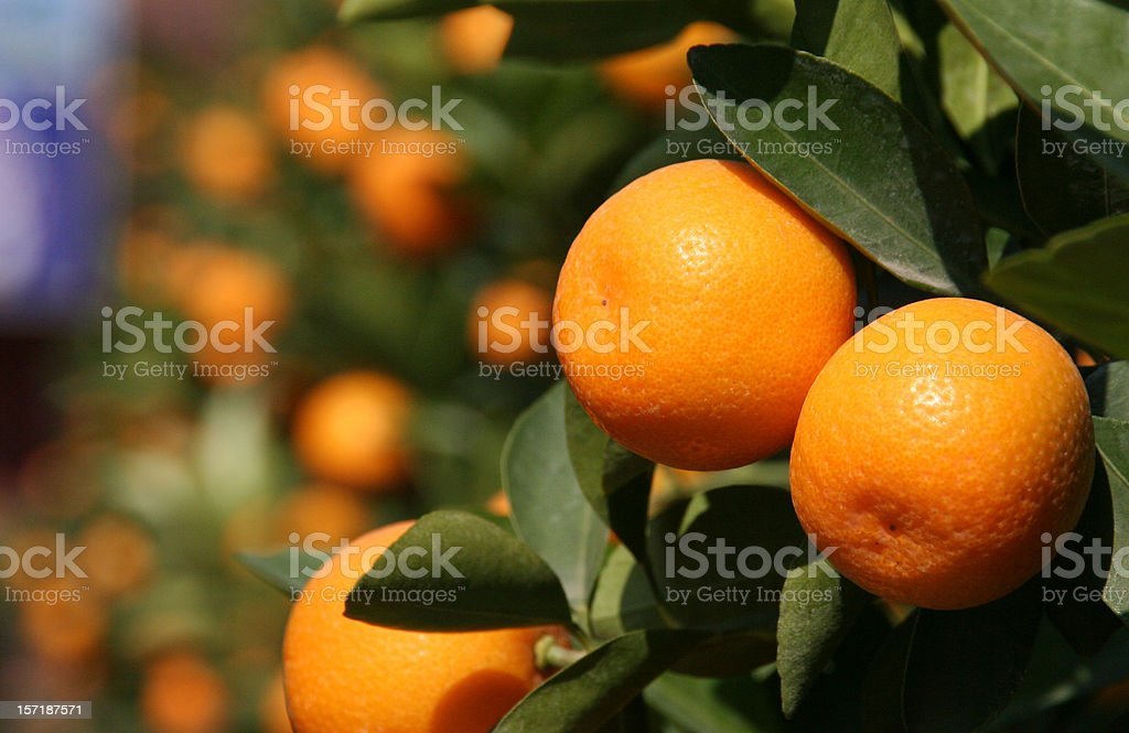 Close-up of orange fruits in a tree, more in the background royalty-free stock photo