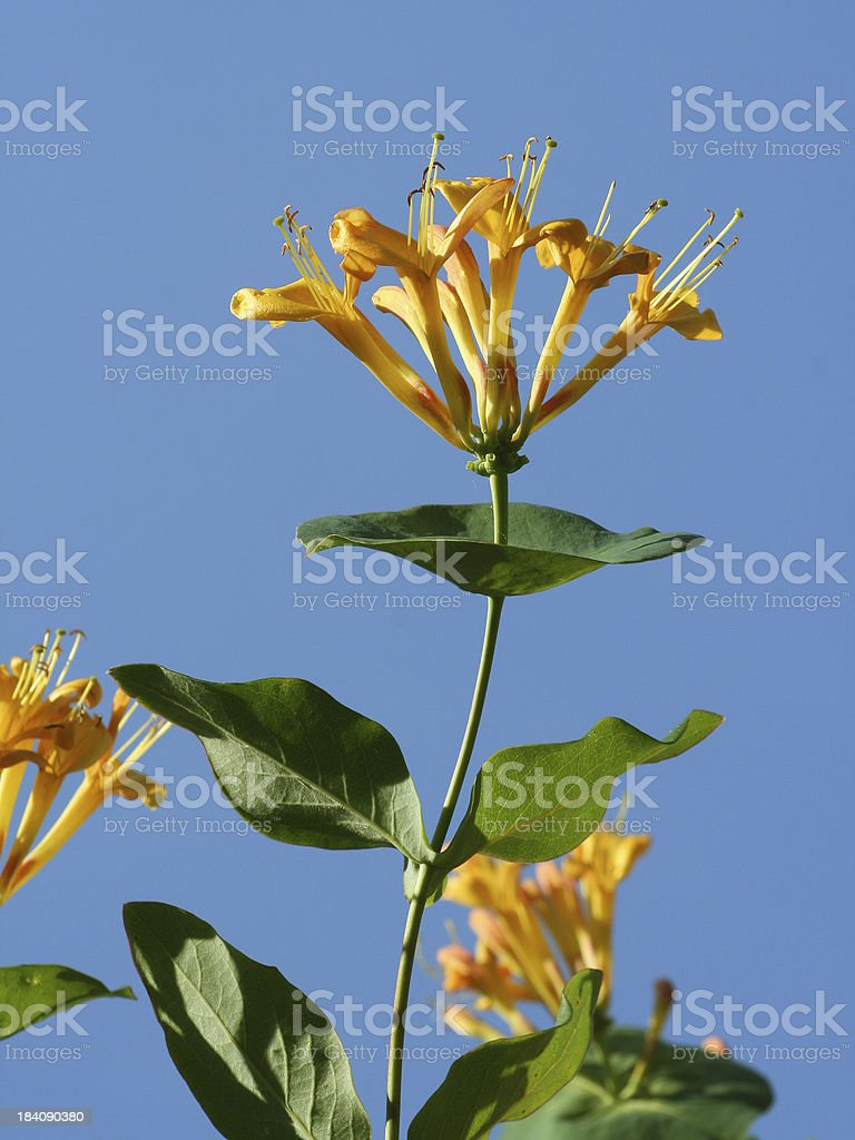 Close-up of orange honeysuckle flower heads against clear blue sky royalty-free stock photo