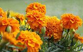 istock Closeup of orange marigold flowers and foliage 183412216