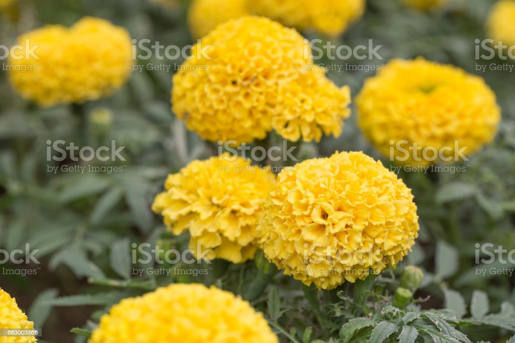 Closeup of orange marigold flowers foto de stock royalty-free