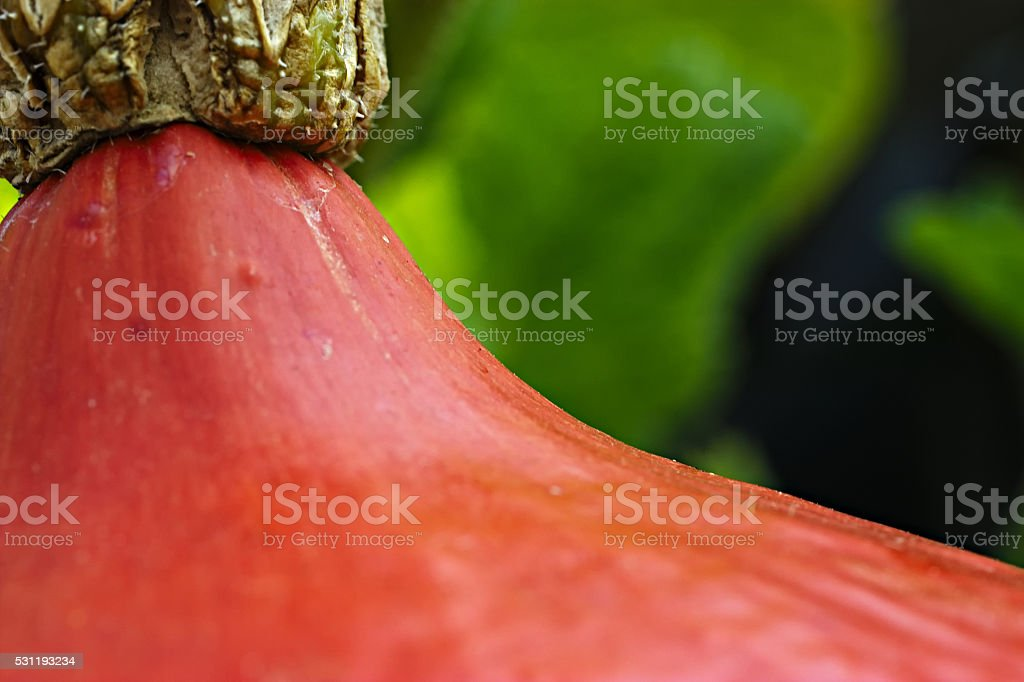 Closeup of orange pumpkin hanging on a stem in garden stock photo