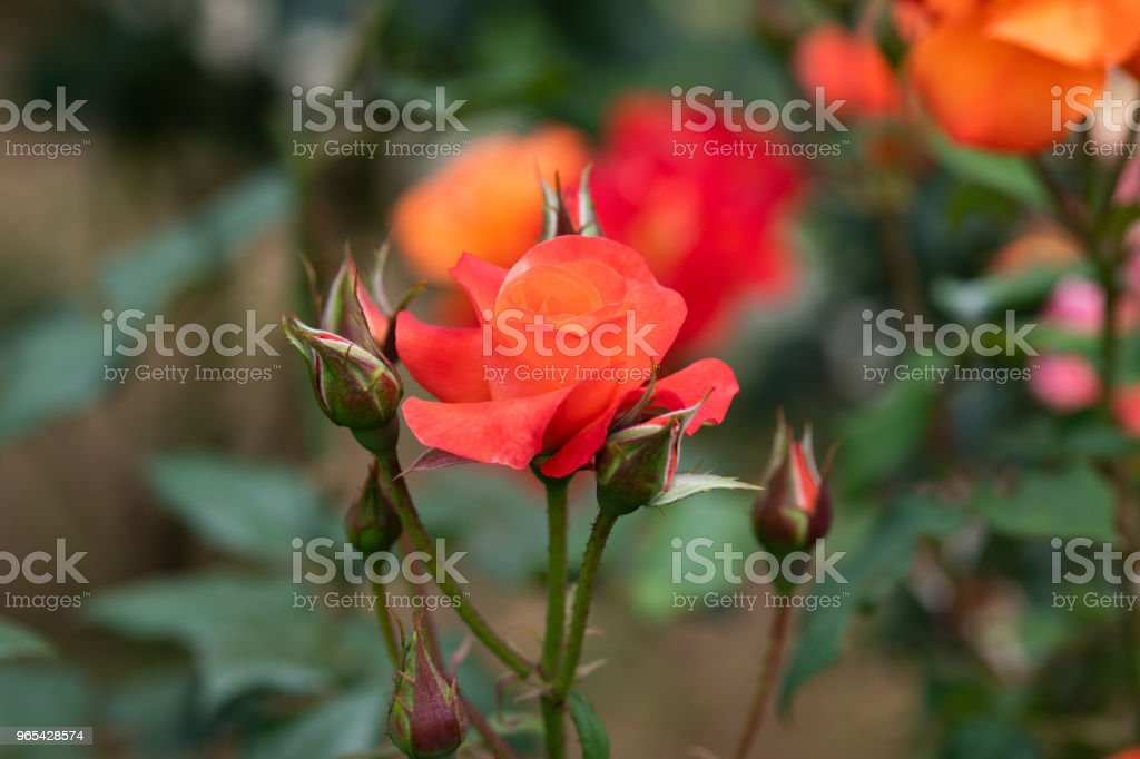 close-up of orange rose flower 'Princess Michiko' royalty-free stock photo