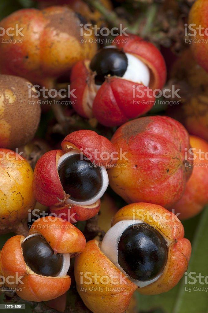 Close-up of orange-red colorful Guarana fruit royalty-free stock photo