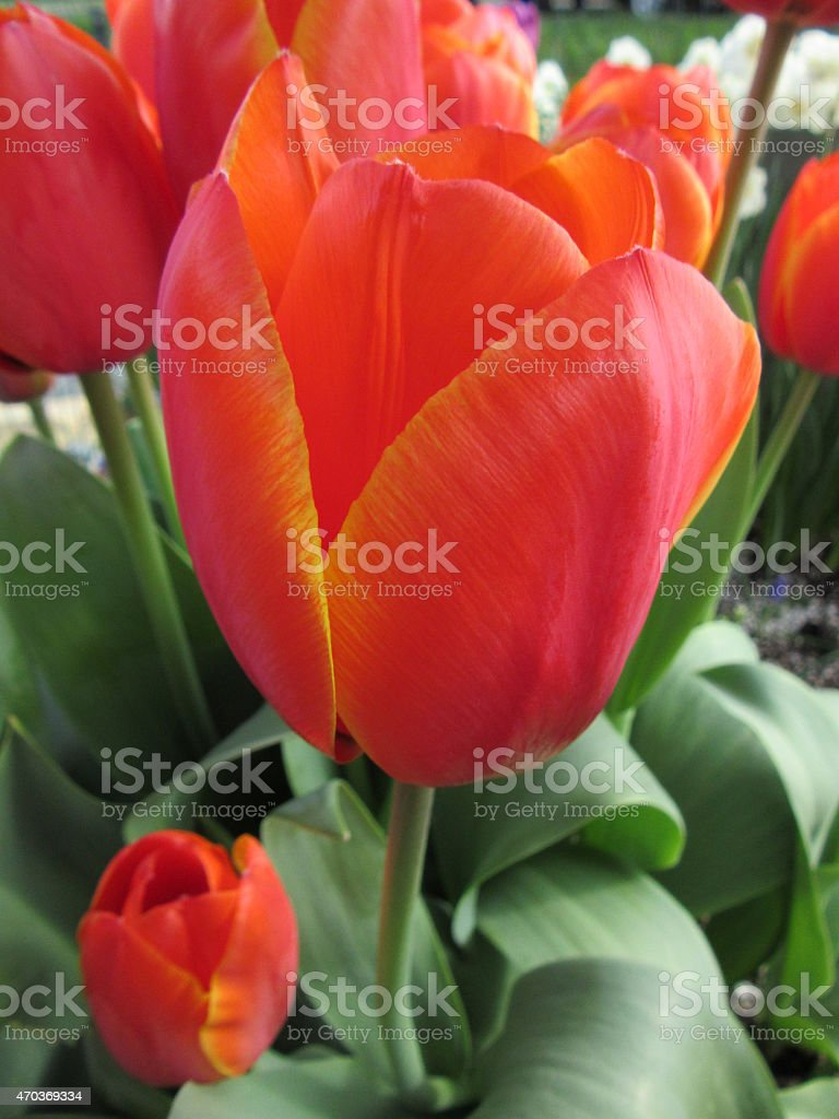 Close-up of Orange/Red Tulip with Yellow Variegated Edges stock photo