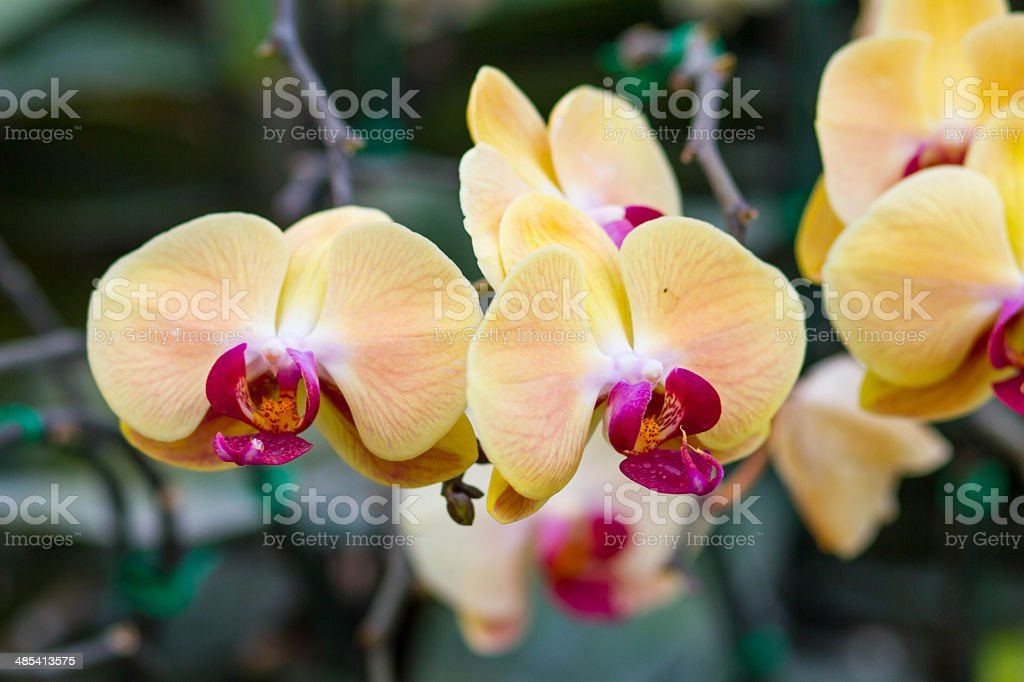 Close-Up of Orchid Flower stock photo