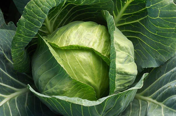 Close-up of Organic Cabbage Growing in Coastal Field stock photo