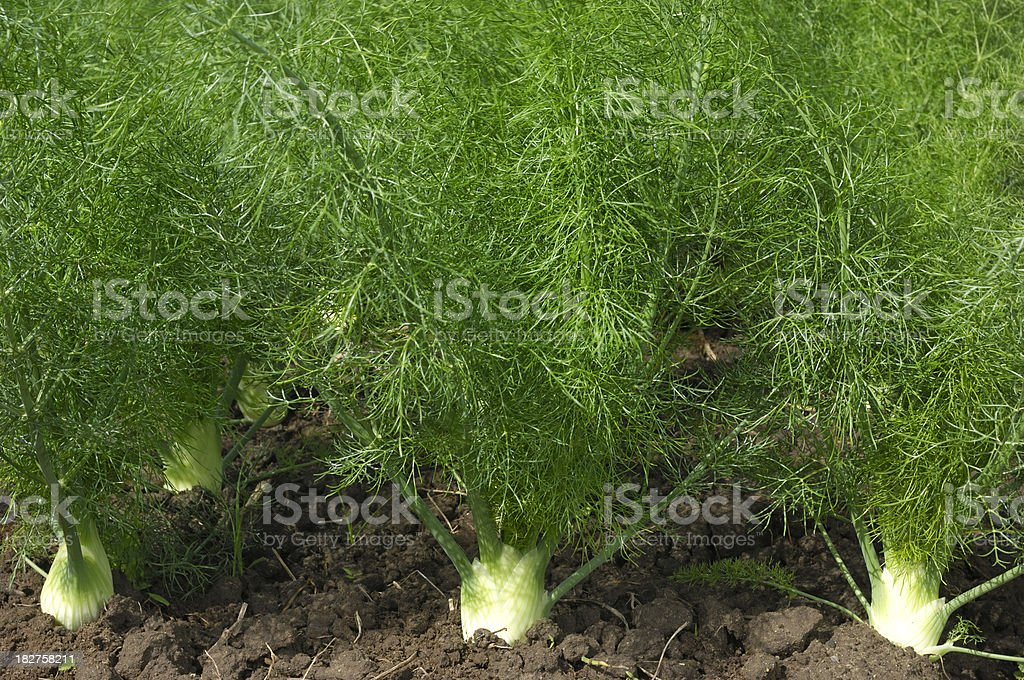 Close-up of Organic Fennel Plants Growing on Rural Farm royalty-free stock photo